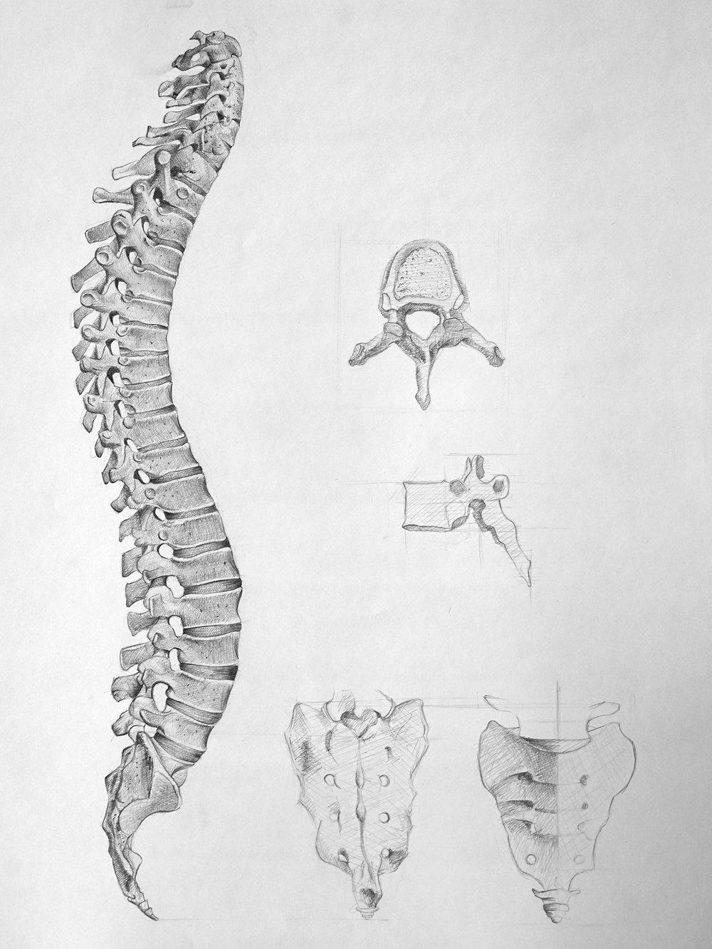 Human Anatomy Study — Dara Hamidi