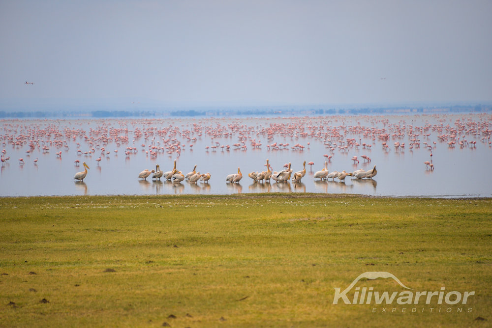 Pink Flamingoes in Lake Manyara