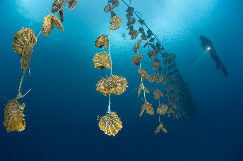Original image from    www.fijipearls.com .  A diver swims near a pearl farm in Fiji.