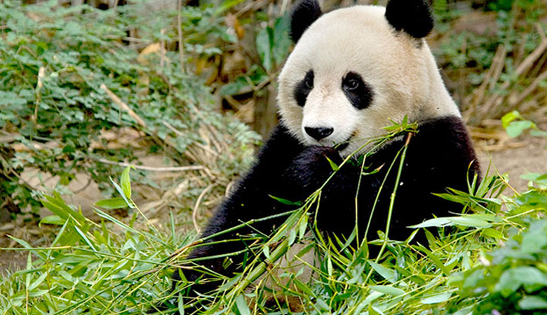 The last time I visited the San Diego Zoo I was in high school and so much has changed. The most exciting and cutest exhibit is certainly the giant pandas. My aunt told us that they were especially active on this day...sitting up and eating for all the crowd to see.
