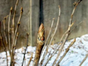 Tree peony buds in january