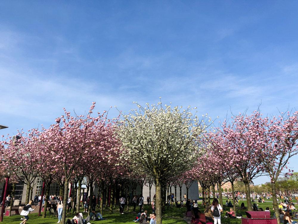 Japanese Cherry Blossom outside the Van Gough Museum