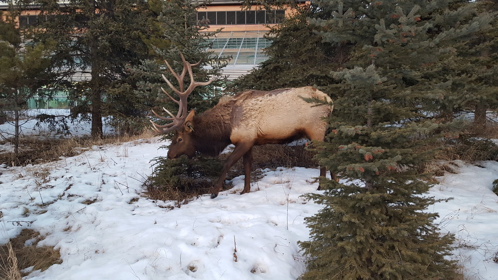 Elk at the Banff Centre