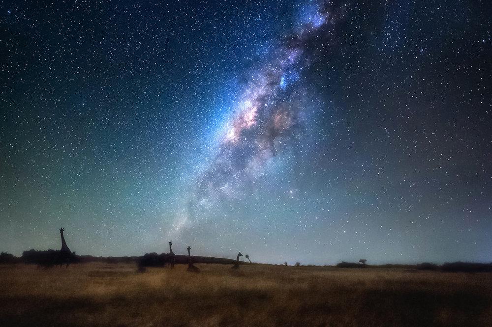 giraffes-By-Starlight