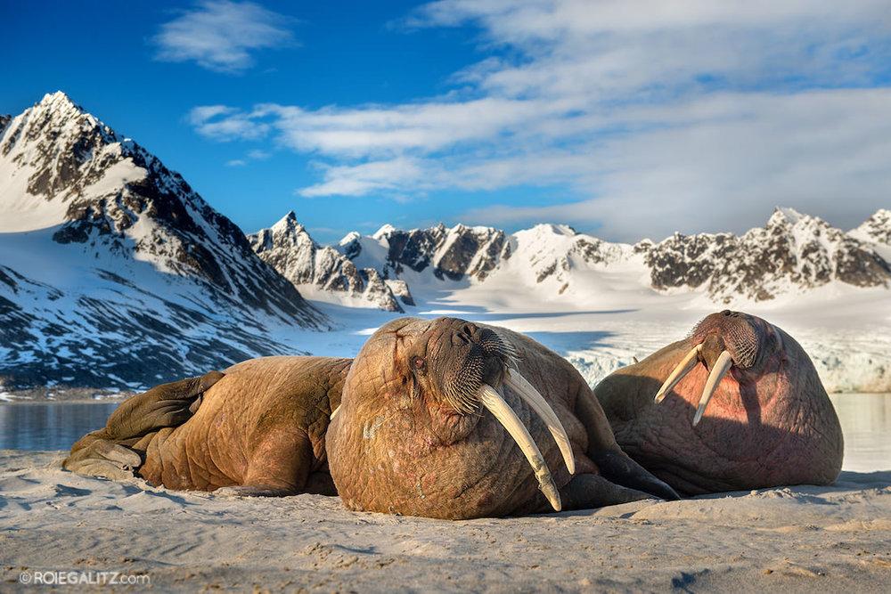 3 walrus sunbathing at base of mountain
