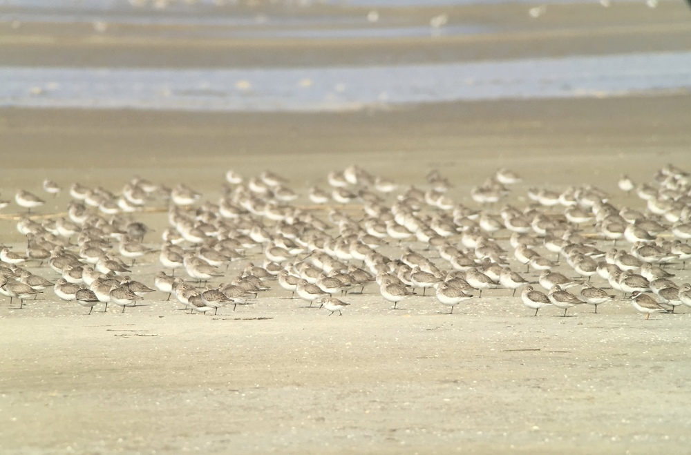 Shorebirds by the thousands! Digiscoped with Swarovski ATX scope, iPhone + Phone Skope adapter