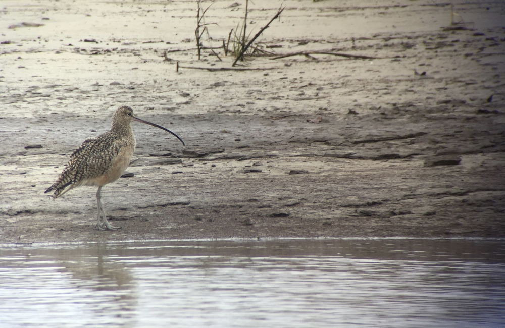 Long-billed Curlew |  Digiscoped with iPhone + Swarovski ATX scope + Phone Skope adapter