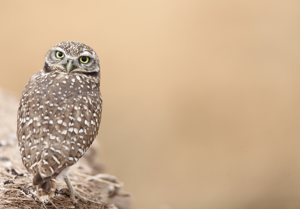 Burrowing Owl perched on an eroded bank on the side of the road.                                                 Canon 5D + 500mm lens