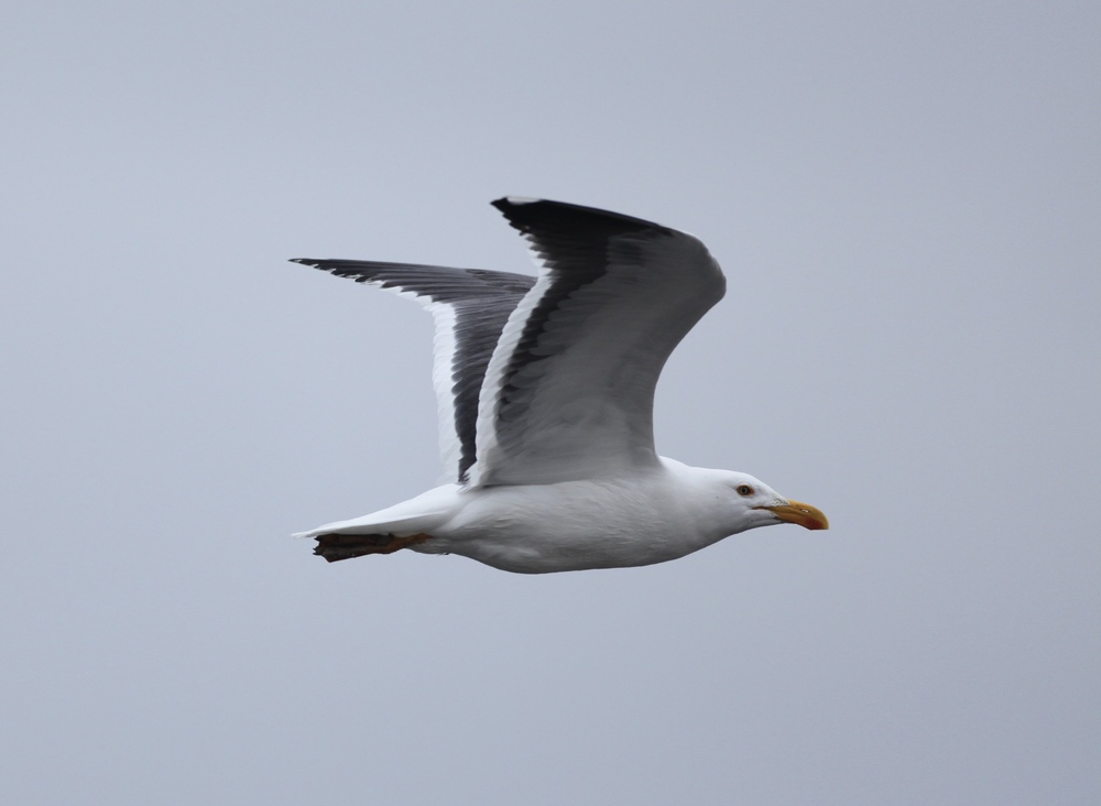 I found several Yellow-footed gulls, including this adult bird at Obsidian Butte.                                   Canon 5D + 500mm lens