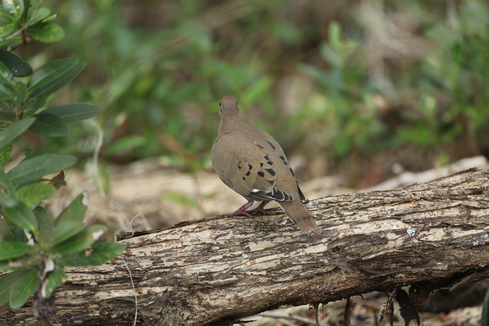 A good view showing the back of the Zenaida Dove- square tail, and white visible on wing
