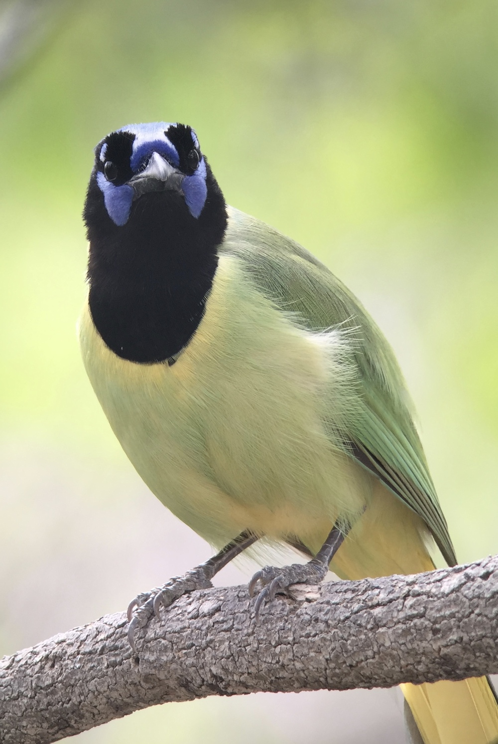 Green Jay, digiscoped with Phone Skope, iPhone 6 + Swarovski ATX spotting scope