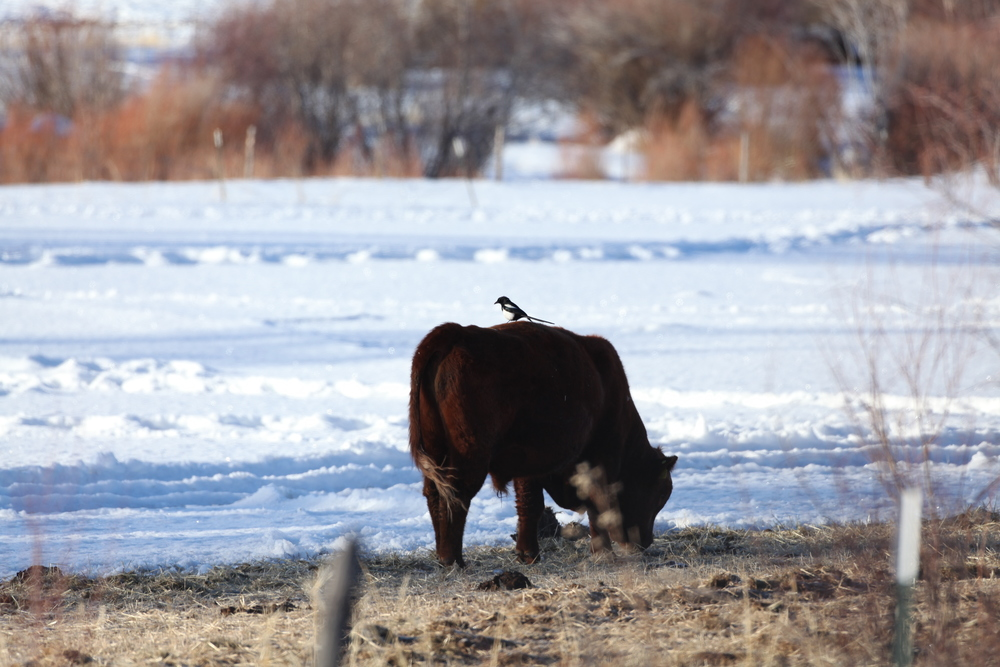 Brown-headed cowbirds on a cow is expected, but a Black-billed Magpie was a surprise!