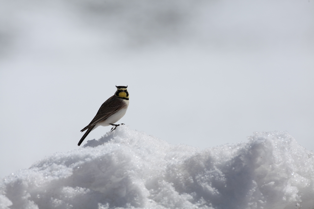 A Horned Lark shows the curved head plumes and strong black mustache and yellow throat.