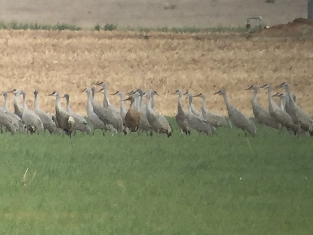 Melanistic Sandhill Crane (left of center) digiscoped at 65x with Swarovski ATX scope + iPhone and Phone Skope adapter