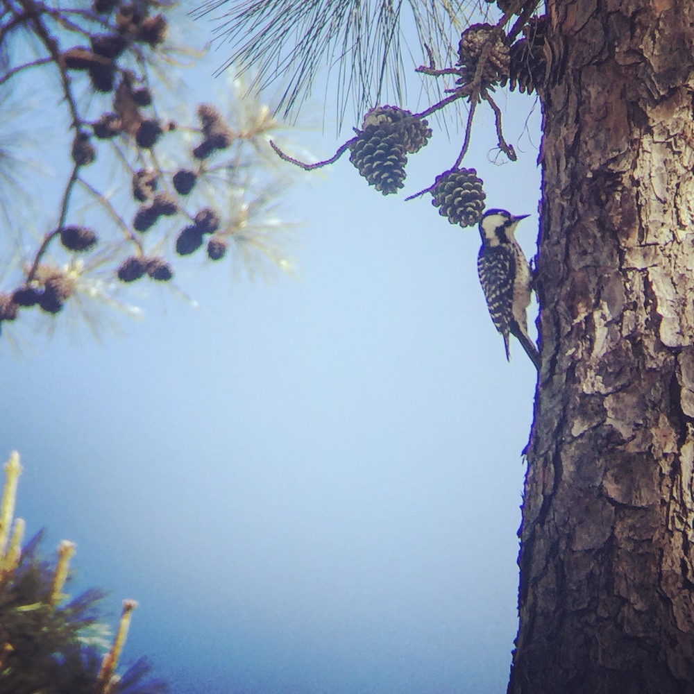 Red-cockaded Woodpecker digiscoped with iPhone 6 and Maven Binoculars, with Instagram filter