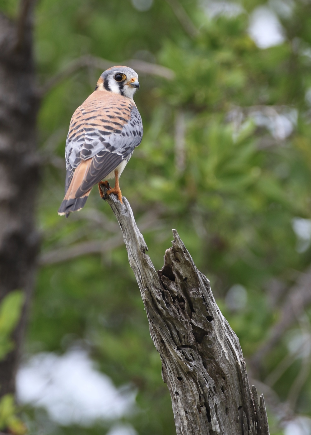 American Kestrel inside Fort Jefferson- one of 3 total over my stay