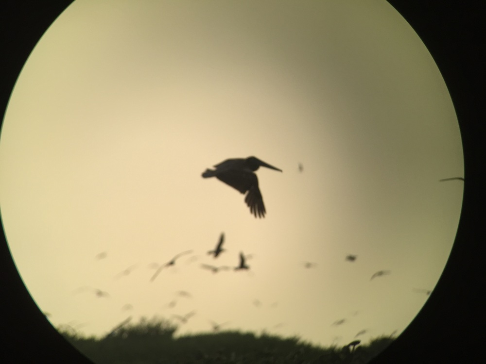 This Digiscoped image almost makes it look like the pelican is flying in front of the sun or moon. I purposefully left the image uncropped because of the effect
