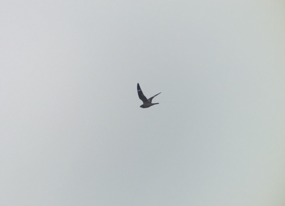 A nice flyover of a nighthawk species- likely Common due to the pointy wings.