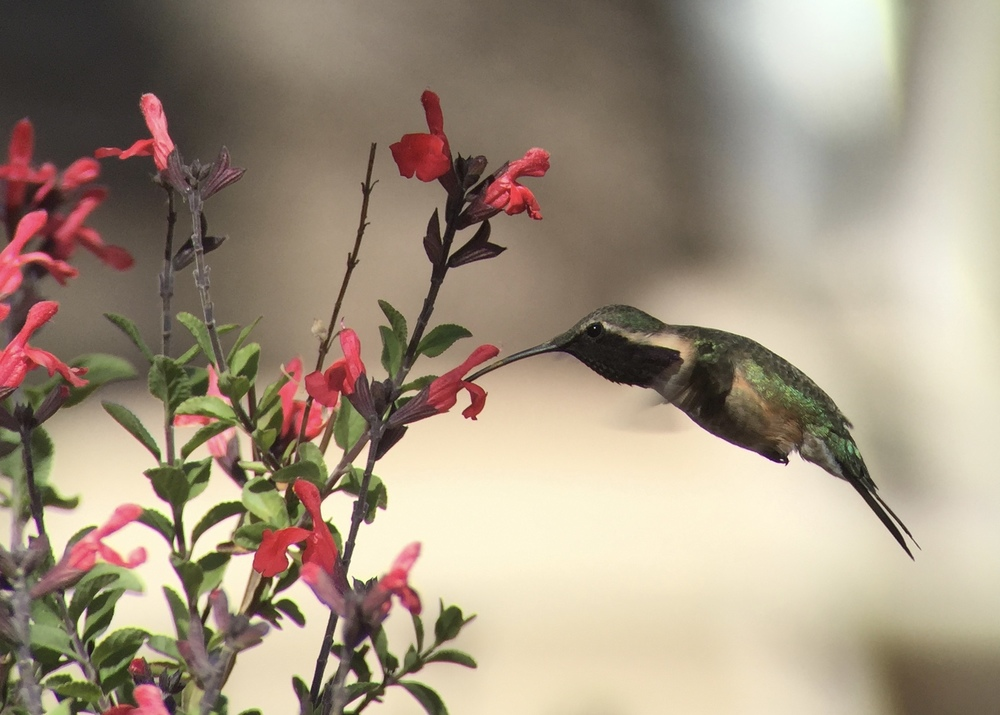 Male Lucifer hummingbird digiscoped with iPhone