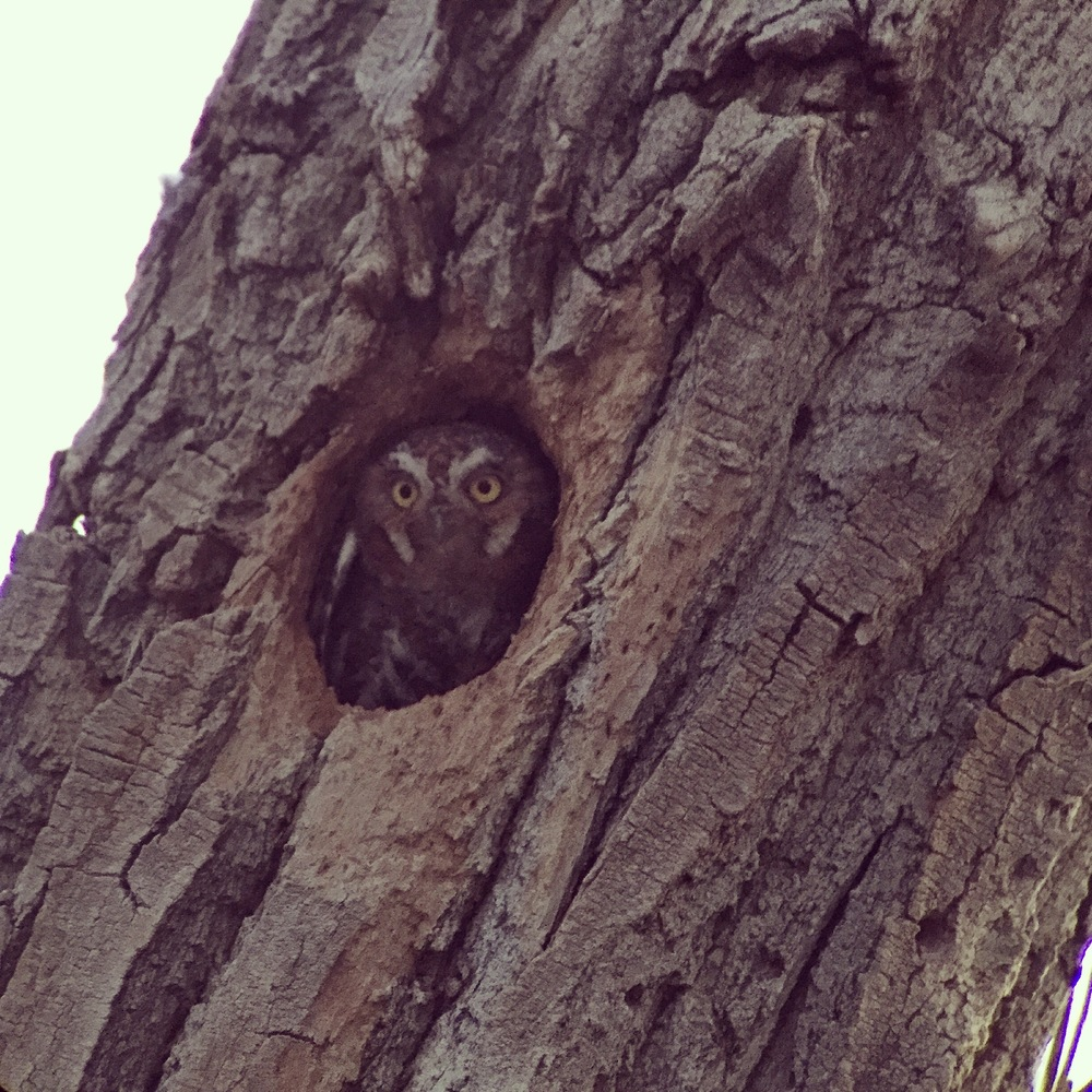 Elf Owl emerging from nest cavity