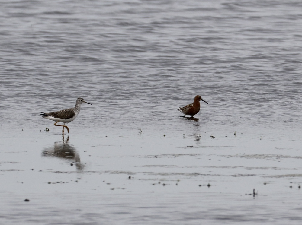 The Curlew Sandpiper is on the right