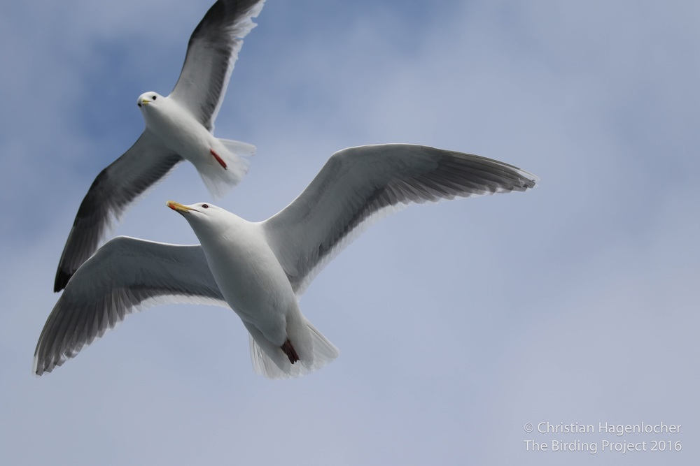 A Red-legged Kittiwake (top) and Glaucous-winged Gull followed the boat