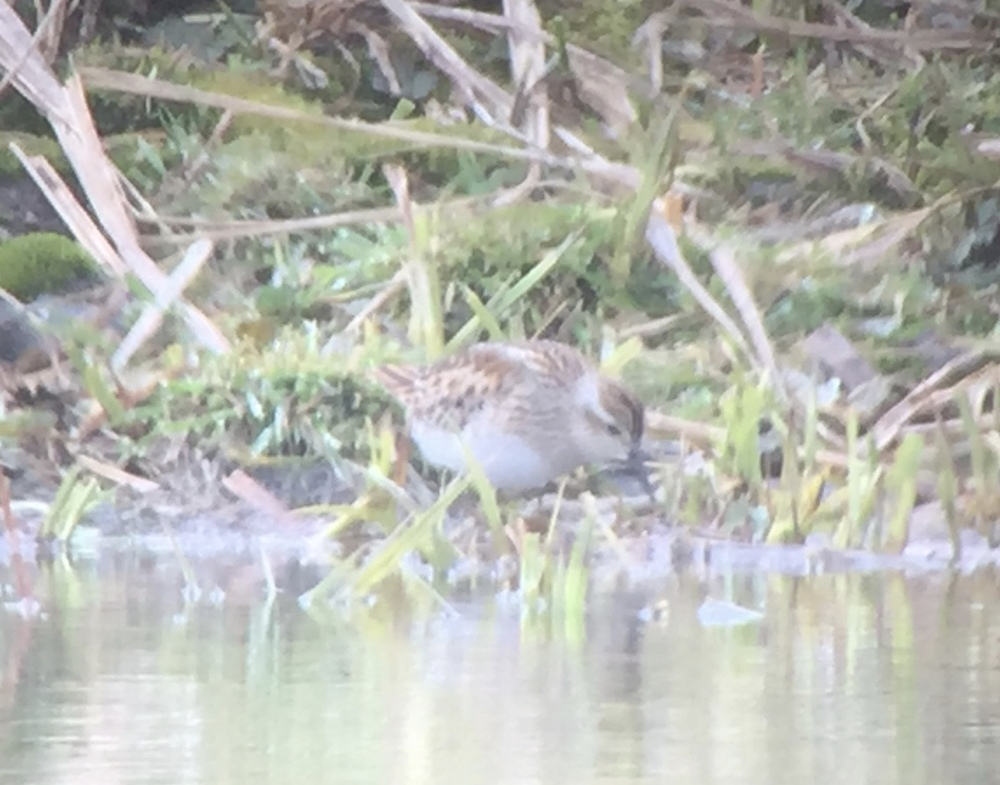 Digiscoped image of Long-toed Stint using iPhone and Phone Skope adapter with Maven scope