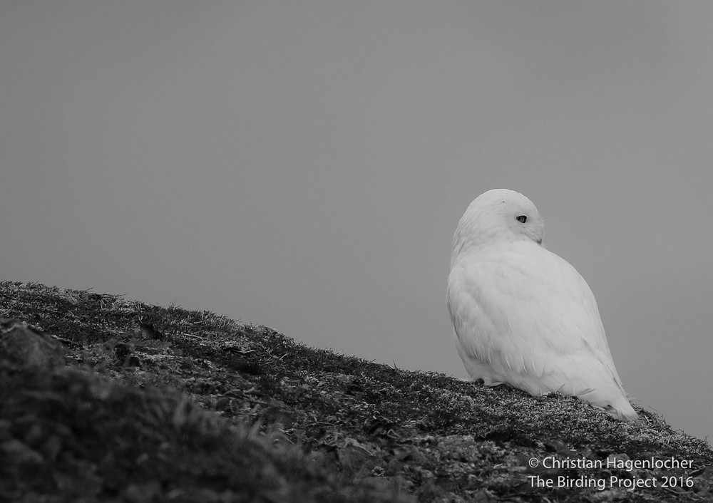 A Snowy Owl surveys Massacre Valley from atop a mossy perch on Terrible Mountain