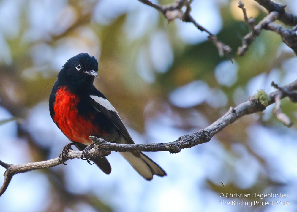 Painted Redstart, for comparison to the Slate-throated Redstart above.       Mt. Lemmon, AZ