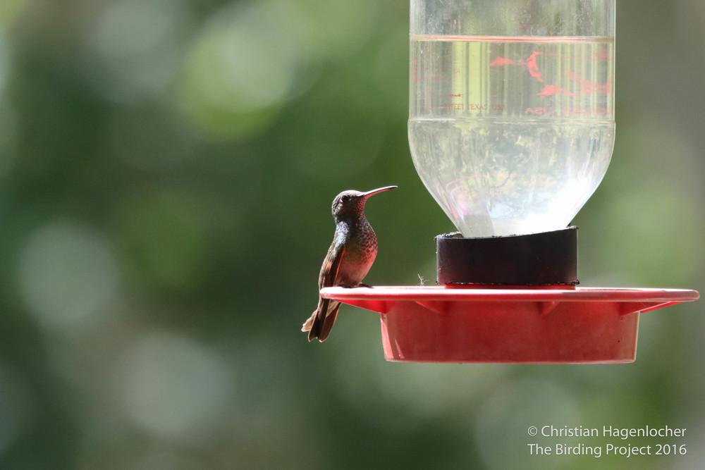 Berylline Hummingbird- what a gem! (Code 3)