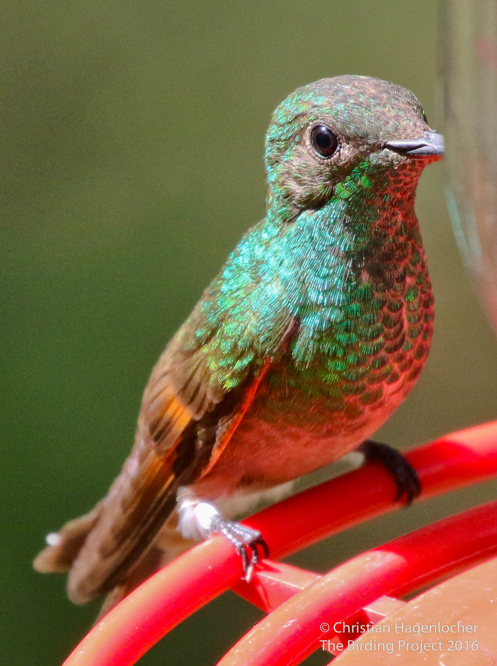 This is the look I had of the Berylline Hummingbird through my binoculars. Pretty neat stuff!