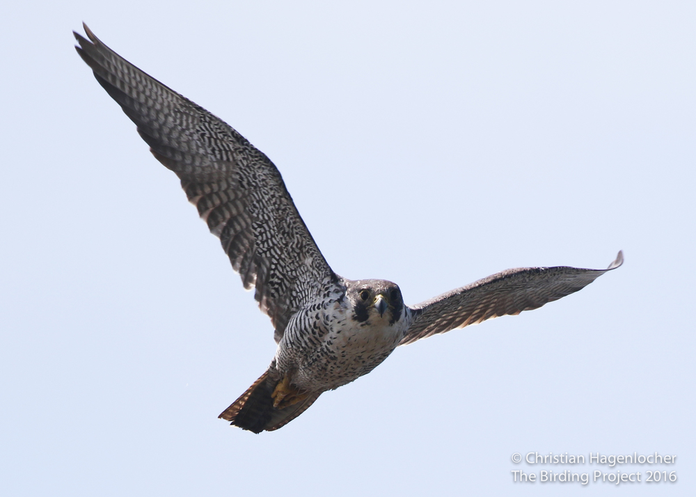 An adult Peregrine makes a low pass over me as she hunts for shorebirds along Humboldt Bay