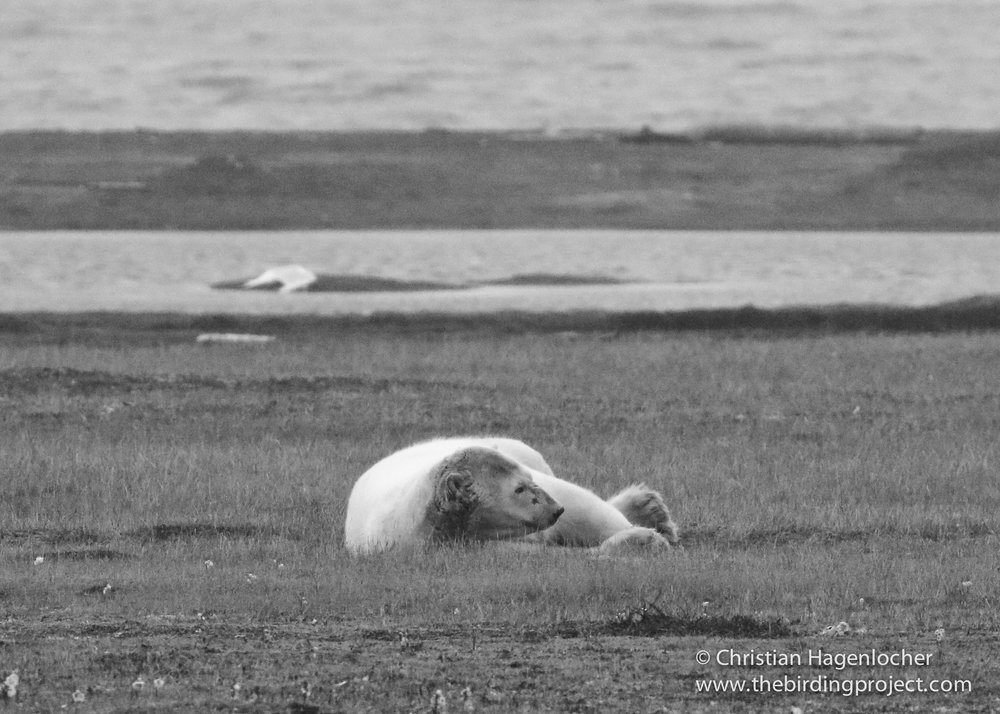 A Polar Bear lays down on the tundra for a short nap, after feeding on an old whale carcass.