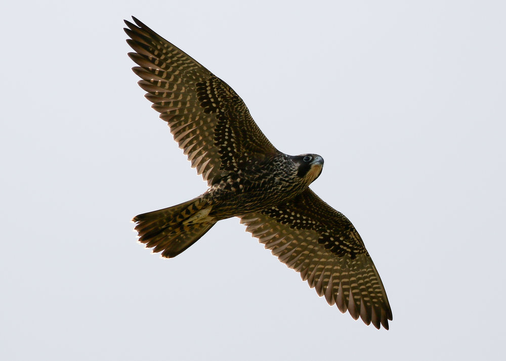 Peale's Peregrine Falcon Adak, Alaska