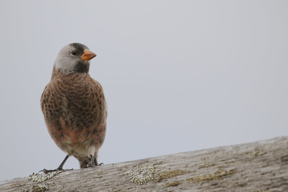 Gray-crowned Rosy-finch           Adak, Alaska