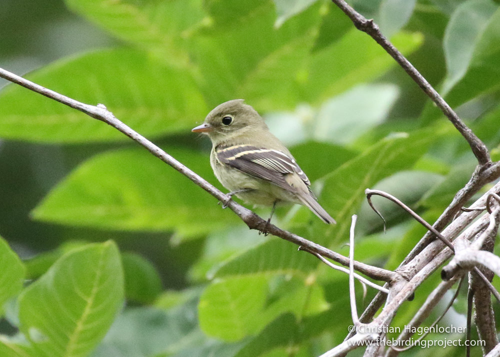 A Yellow-bellied flycatcher forages deep in the foliage for flying insects. It will winter in Central America, between southern Mexico and Panama.