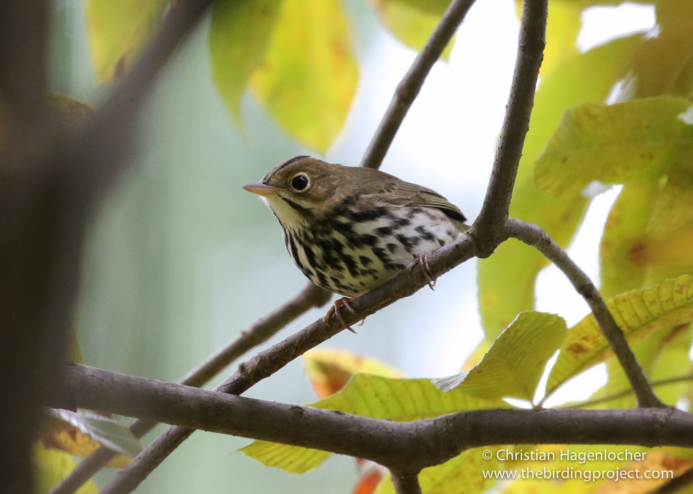 Ovenbirds are usually seen on the ground feeding in dead leaf litter, but a dog walker flushed this one up into a small tree.