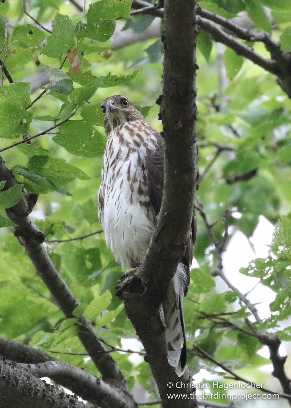 A young male Cooper's Hawk keeps a watchful eye over the stream, full of birds moments before.