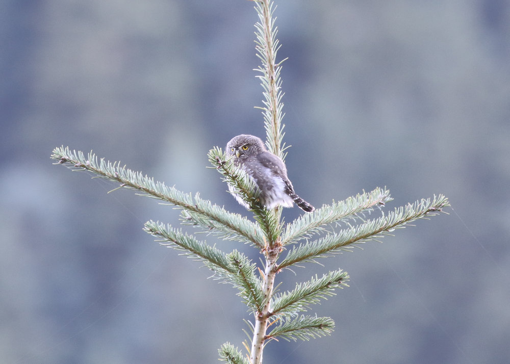 Northern Pygmy Owl, Washington