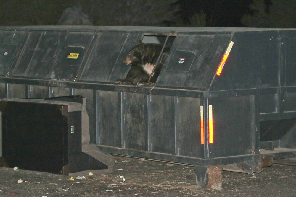 Yep, that's Black Bear, emerging from a bear-proof dumpster. Someone tell the bear...