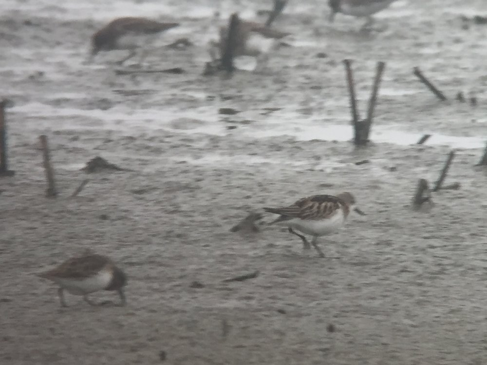 Little Stint (right) and Least Sandpiper