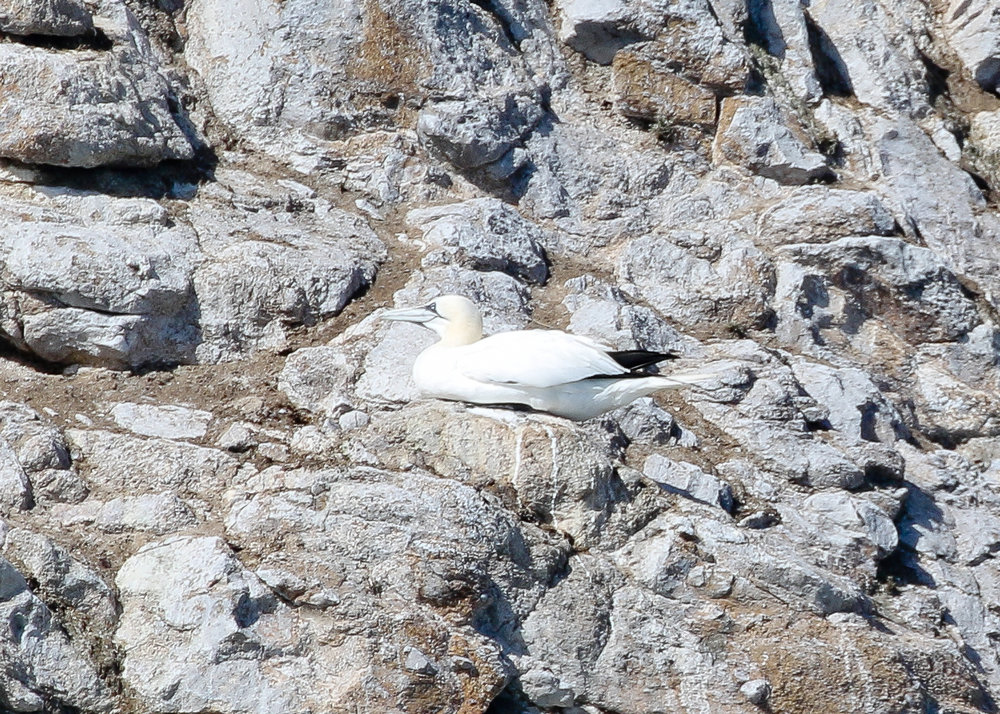 I've seen possibly the only Northern Gannet on the West Coast- twice - in different locations off CA