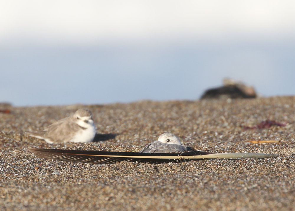 A Snowy Plover (left) and Sanderling (right) rest in the sand behind a Brown Pelican feather on the beach.