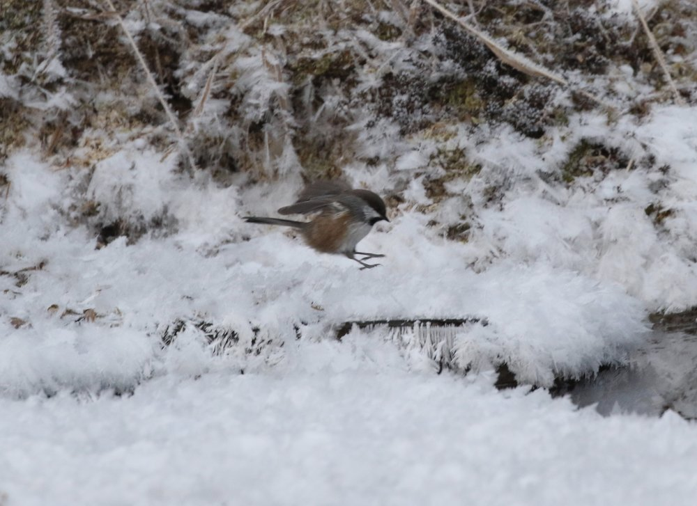 Boreal Chickadee, somewhere out in the Alaskan bush.