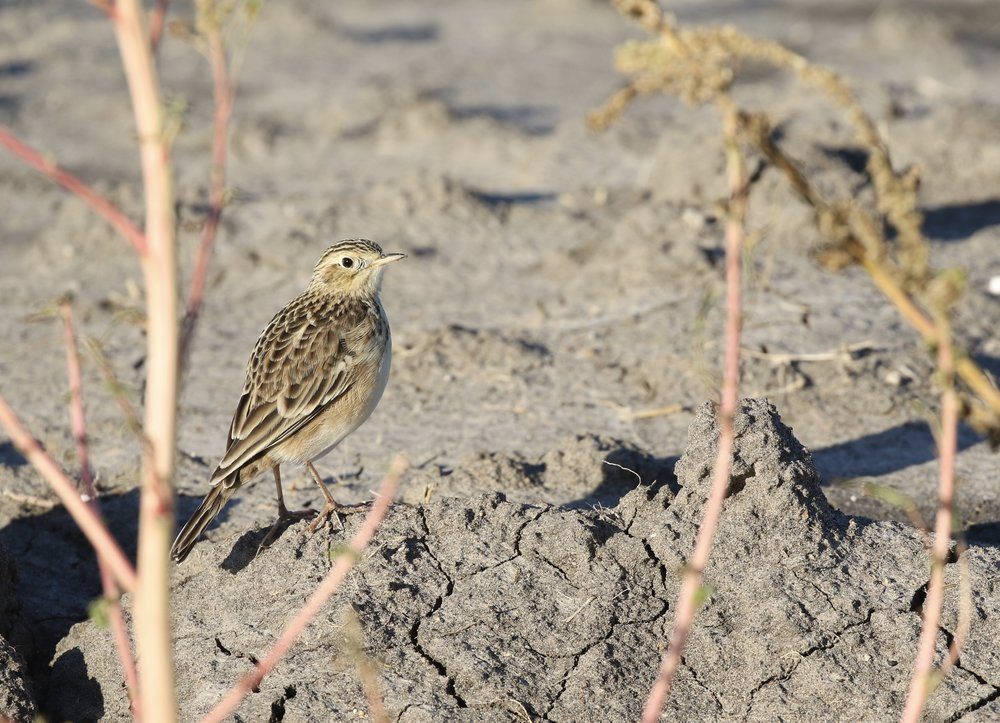 My goal today was to find Sprague's Pipit, which I saw much better today than earlier this year.