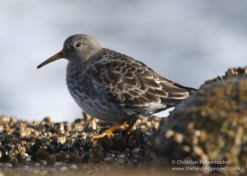 A Purple Sandpiper works the rocky shoreline feeding on invertebrates exposed on the rocks.