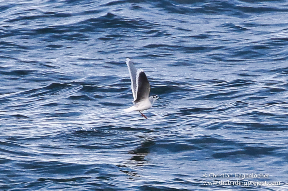 It took several tries to find Little Gull, but when I saw it, to say I was happy is an understatement.