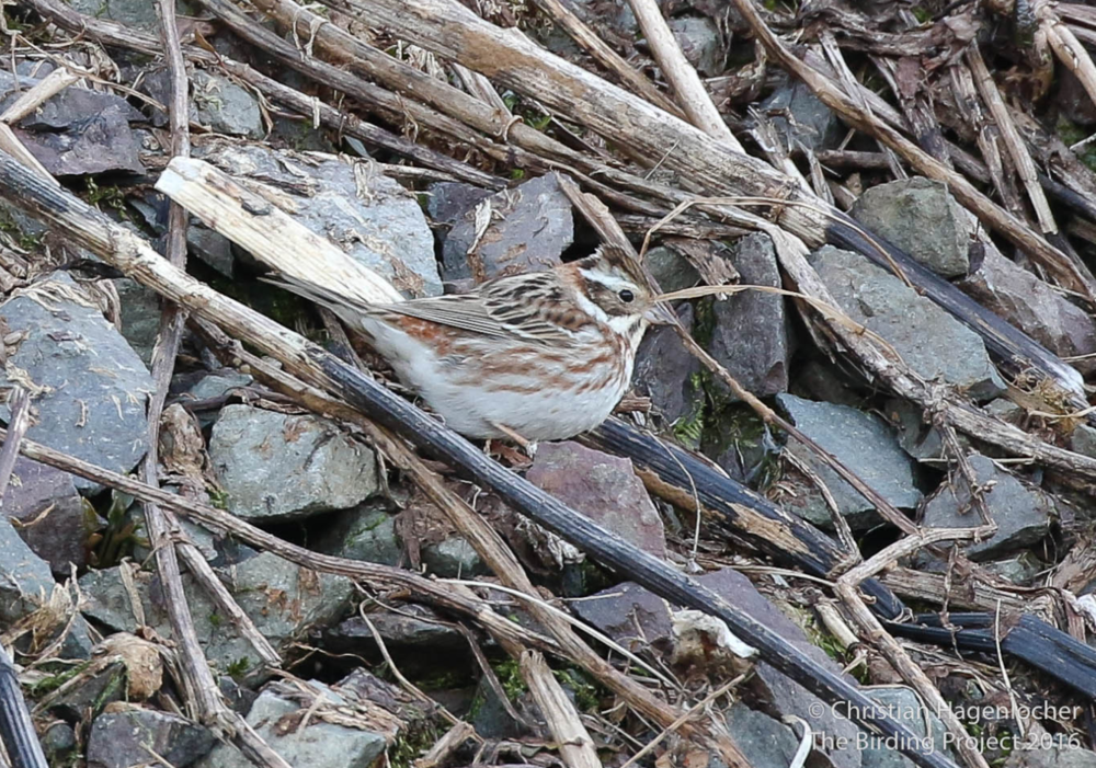 I saw maybe a dozen Rustic Buntings last spring on Attu!