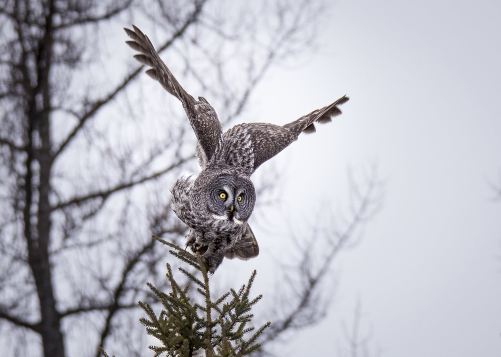 Photo by Justin Cale, of an un-baited Great Grey Owl. Many times these owls can be observed hunting wild rodents if the photographer has the patience and speed to keep up.