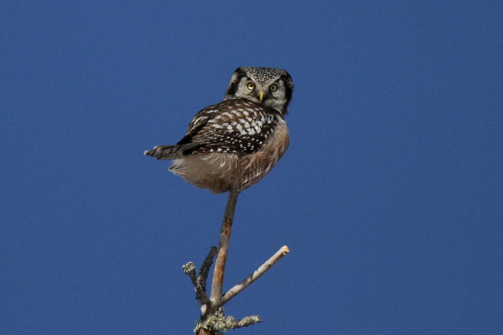 Northern Hawk-Owl  Photo: Laura Keene